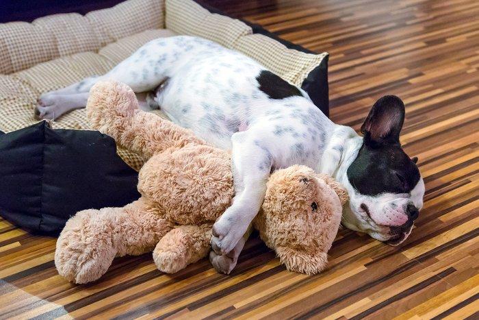 French-bulldog-puppy-sleeping