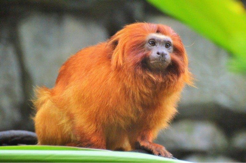 news-facial-recognition-primates-golden-monkey