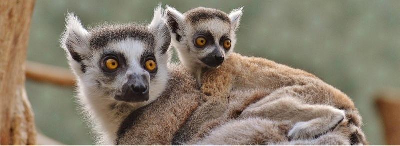 news-facial-recognition-primates-lemurs