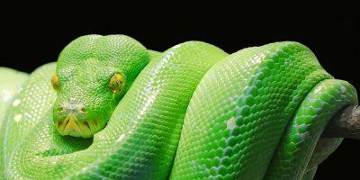 A Python wrapped around a branch.